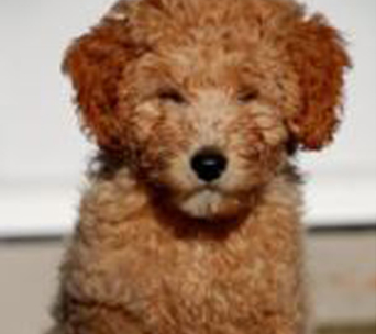Rooney, a previously sold petite goldendoodle.