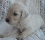 miniature goldendoodle.