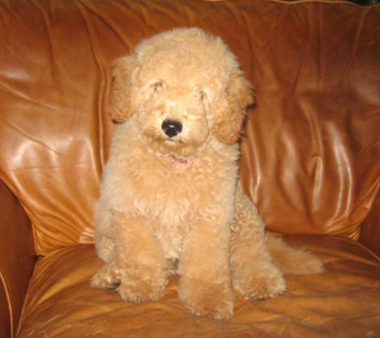 Cody, a previously sold petite goldendoodle.